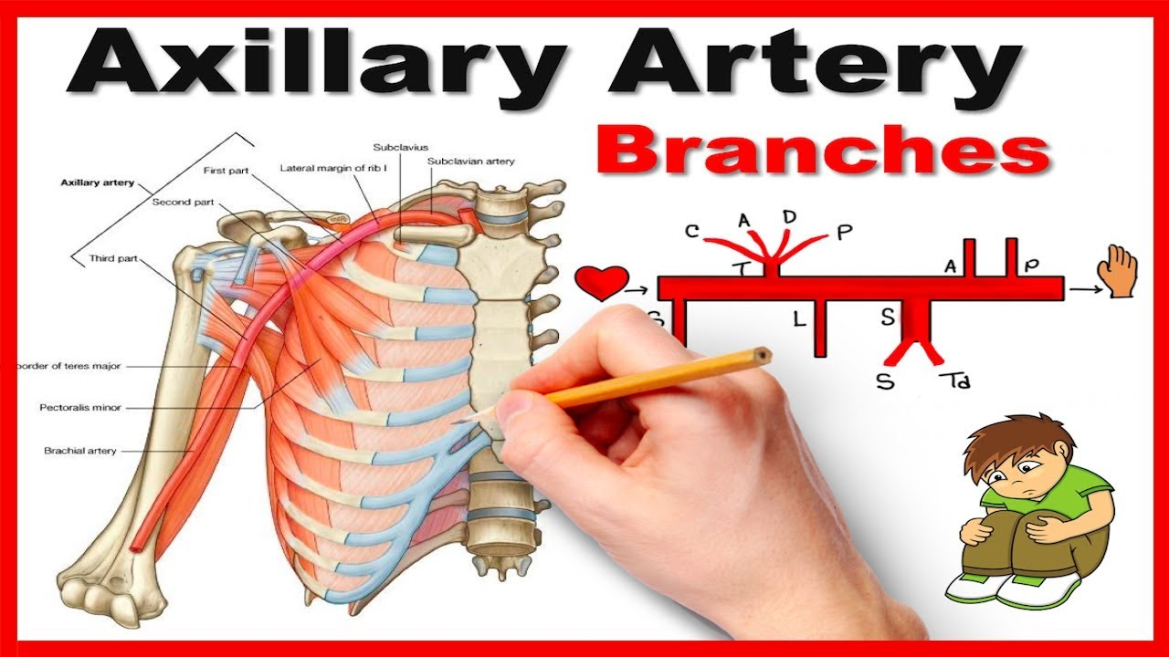 Axillary Artery Branches Mnemonic Series 12 Youtube
