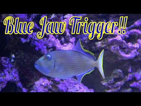 Blue Jaw Triggerfish Care Guide