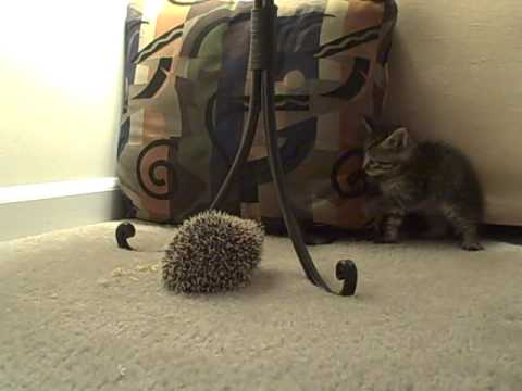The kitten meets the hedgehog