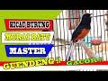 Kicau Burung Murai Batu Master Suara Burung Murai Batu Untuk Memancing  Mp3 - Mp4 Download
