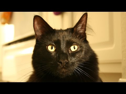 Would You Adopt a Black Cat?