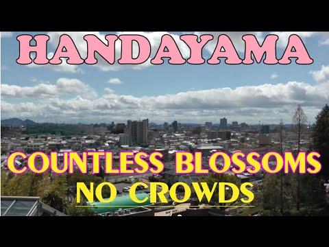 Handayama - Cherry Blossom Secret ✿ Okayama City - 岡山市半田山植物園 - Japan As It Truly Is