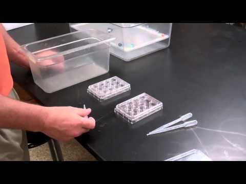 Zebrafish Breeding Method