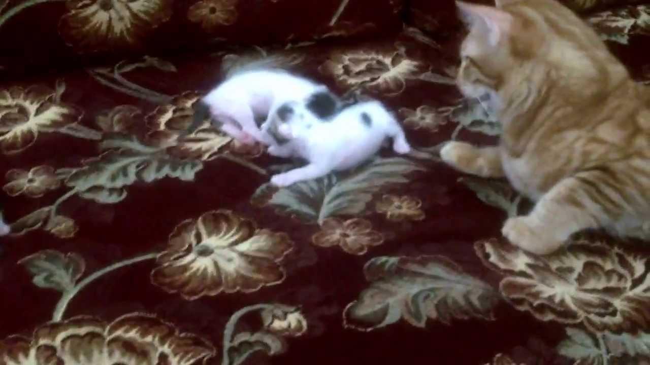 Oscar( male )taking care of kittens one week old