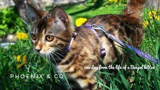 Один день из жизни бенгальского кота / Bengal cat