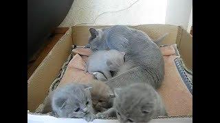 Трехнедельные британские котятки с мамой