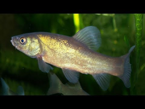 Hd my tench in the cold water fish tank schleie im for What are cold water fish
