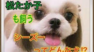 ペットで犬を飼おうと迷っている方へ〜シーズー〜 世の中には様々な犬種...