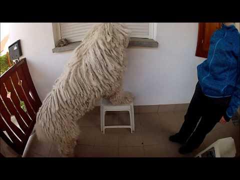 """Huba komondor- """"Tedd a mancsod a székre, utána vedd le az ablakból tányért"""" - Do as I do gyakorlás"""