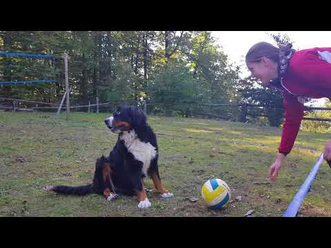 Bernese Mountain Dog Playing Fetch