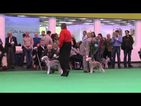 Bedlington Terrier Crufts 2013 dfs Crufts 2011...