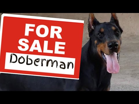Doberman Pinscher FOR SALE - Rehoming a Dobie - Dog Adoption