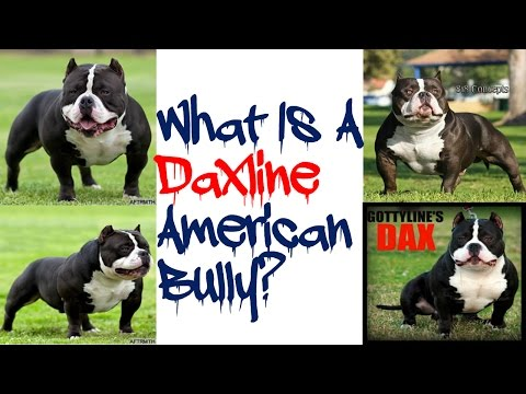 What Is A Daxline American Bully???