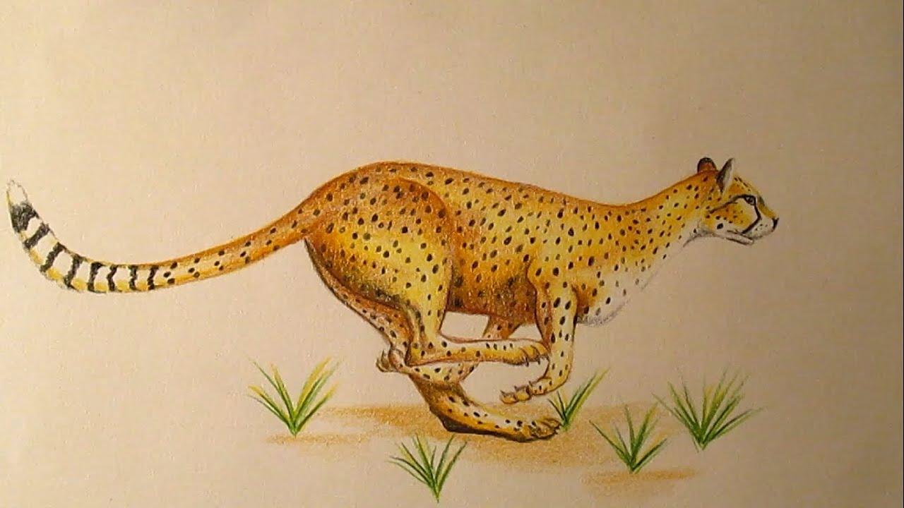 How to Draw a Cheetah / Cómo dibujar un Guepardo HD - YouTube