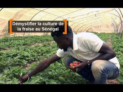 Démystifier la culture de la fraise au Sénégal