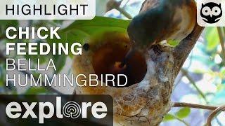 Bella Feeds Her New Baby - Bella Hummingbird - Live Cam Highlight