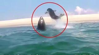 Карате-тюлень: тюлень дал пощечину акуле, которая хотела его съесть