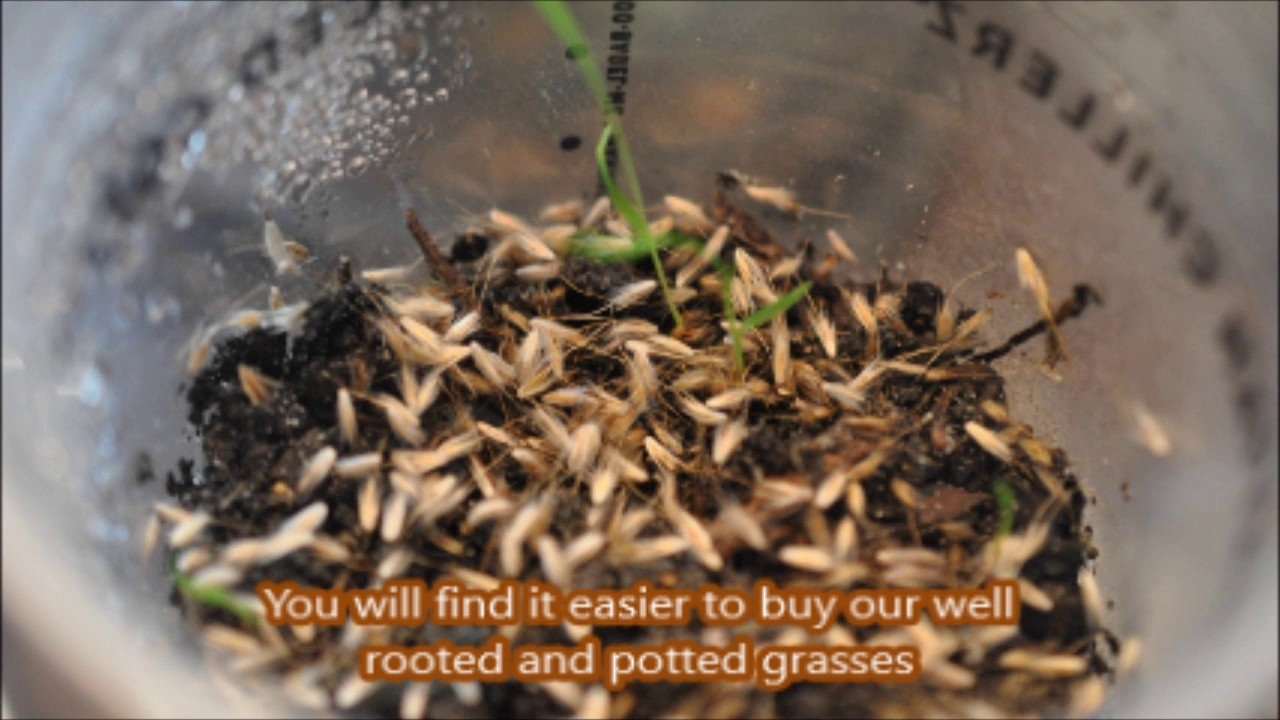 Free grass growing ornamental grass seeds youtube free grass growing ornamental grass seeds workwithnaturefo
