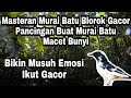 Murai Batu Blorok Gacor Cocok Untuk Masteran Pancingan Murai Batu Macet Bunyi  Mp3 - Mp4 Download