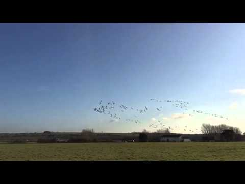 Brent Geese on Christmas Day
