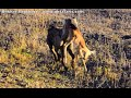 Spotted Hyena Catches Baby Impala Kruger Park