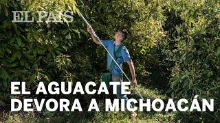La producción de aguacate devora a Michoacán