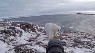 Однажды меня съест белый медведь
