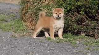 柴犬専門ブリーダー・犬舎の子犬販売 柴犬.net ID:1896 http://www.shib...