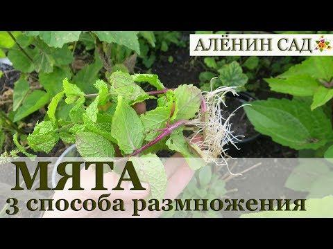 3 способа размножения МЯТЫ / Типы размножения растений