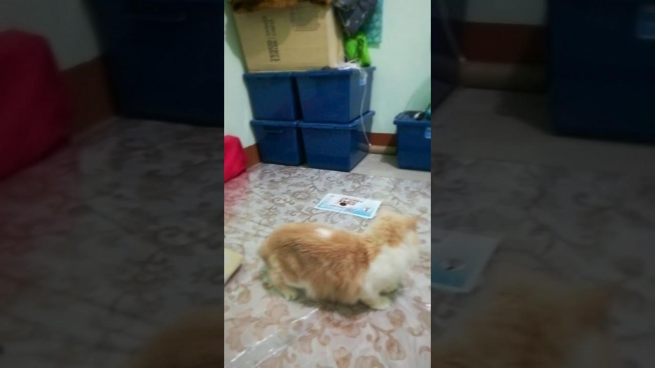 Cat Humorous Bounce Fail Tongyod