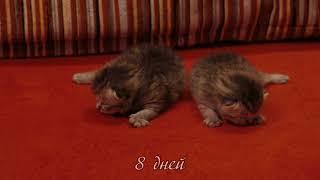 Шотландские котята от рождения до месяца