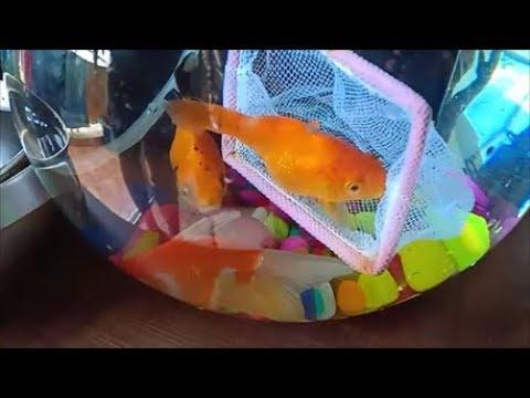 फिश बाउल को कैसे साफ करे ,how to clean fish bowl