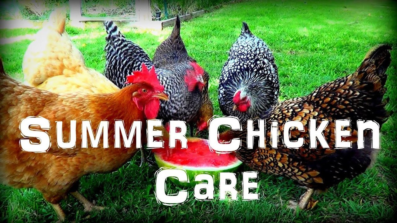 caring for chickens in the extreme summer heat youtube