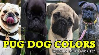 Types of Pug Dog Colors & their roles | Dog Lovers