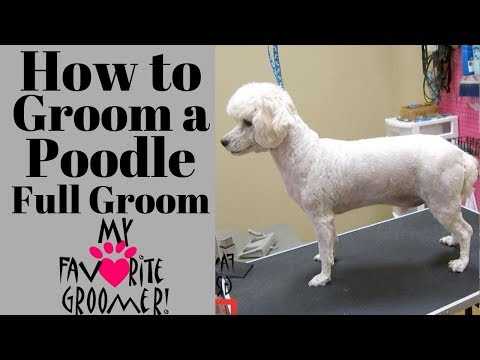 How to Groom a Poodle Full Groom