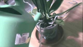 Cómo regar las orquídeas