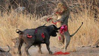 БУЙВОЛ УБИВАЕТ ЛЬВА | Buffalo Kills Lion