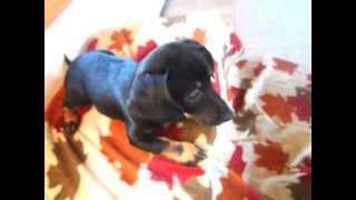 Adorable, Precious California Miniature Dachshund Mix Puppies For Adoption