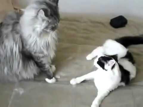 보통 고양이 메인 쿤과 싸워라!