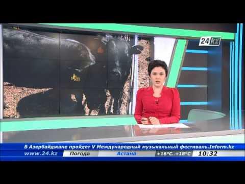 видео: На границе Кыргызстана и Казахстана предотвращен перегон крупного рогатого скота