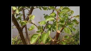 【作物管理】杏树不同年龄时期的修剪方法要领【作物管理】杏树不同年龄...