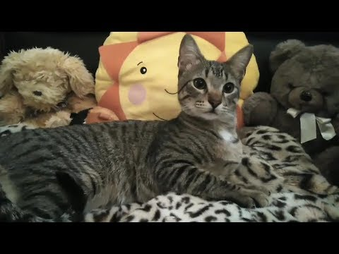 My Lovely Egyptian Mau Cat