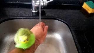 Muhabbet kuşu nasıl yıkanır?