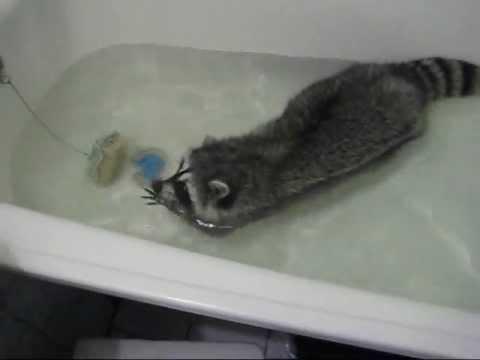 Кот енот полоскун