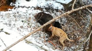 生まれて2年の3匹の猟犬が、100㎏のイノシシに力を合わせて立ち向かう!