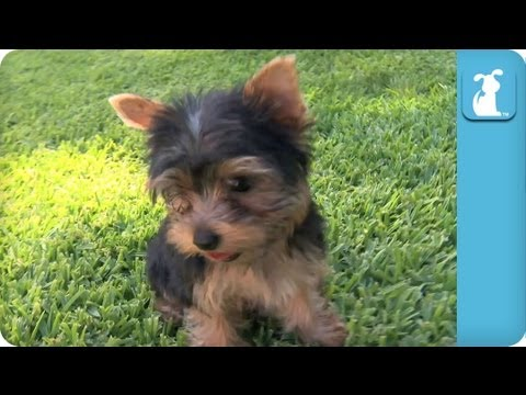 Yorkie Puppies First Time on Grass - Puppy Love