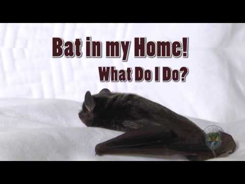 How to Remove a Bat from your Home