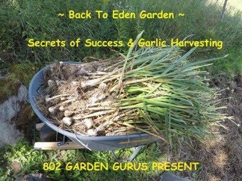 8-13-17 ~ Back To Eden Garden - Secrets Of Success & Garlic ...