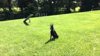 """Doberman """"gabriel"""" Obedience Protection Trained For Sale"""