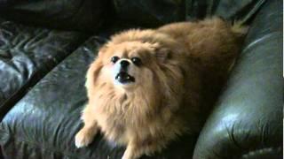 Mollie The Pomeranian Tells Another Blonde  Joke
